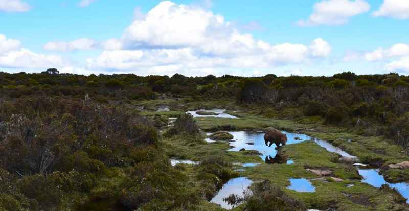 animaux sauvages en australie : les wombats