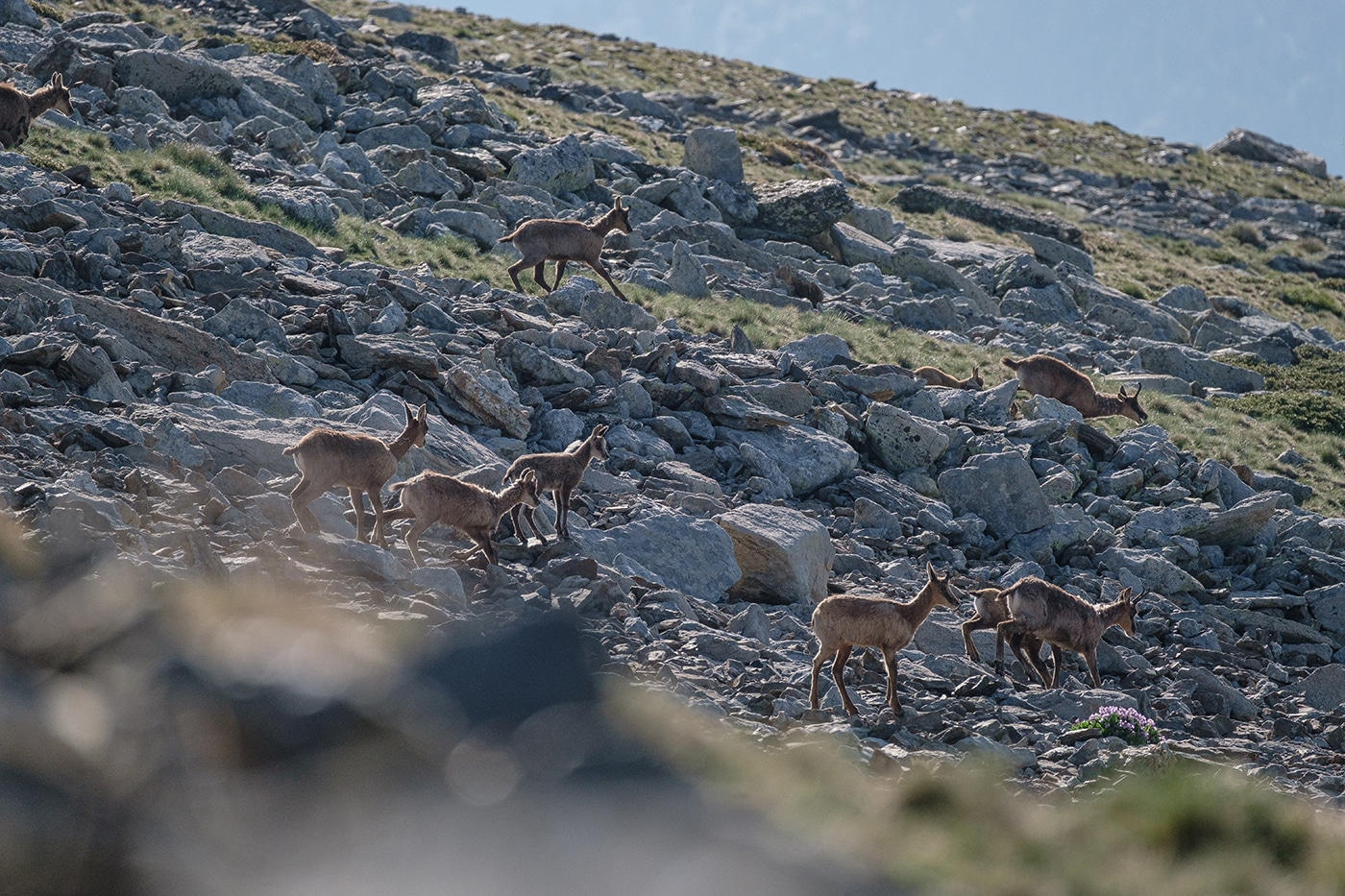 harde d'isards sauvages dans le massif du canigou