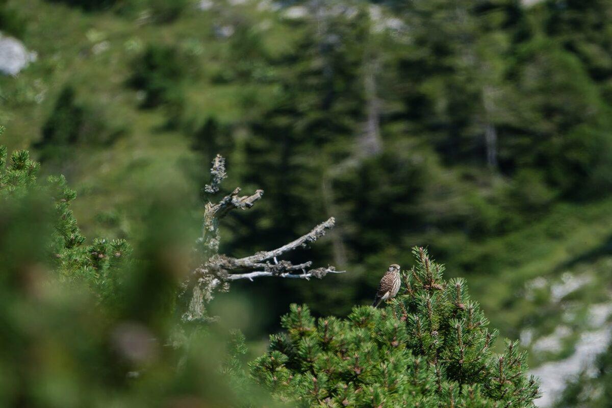 Faucon crécerelle dans le Jura