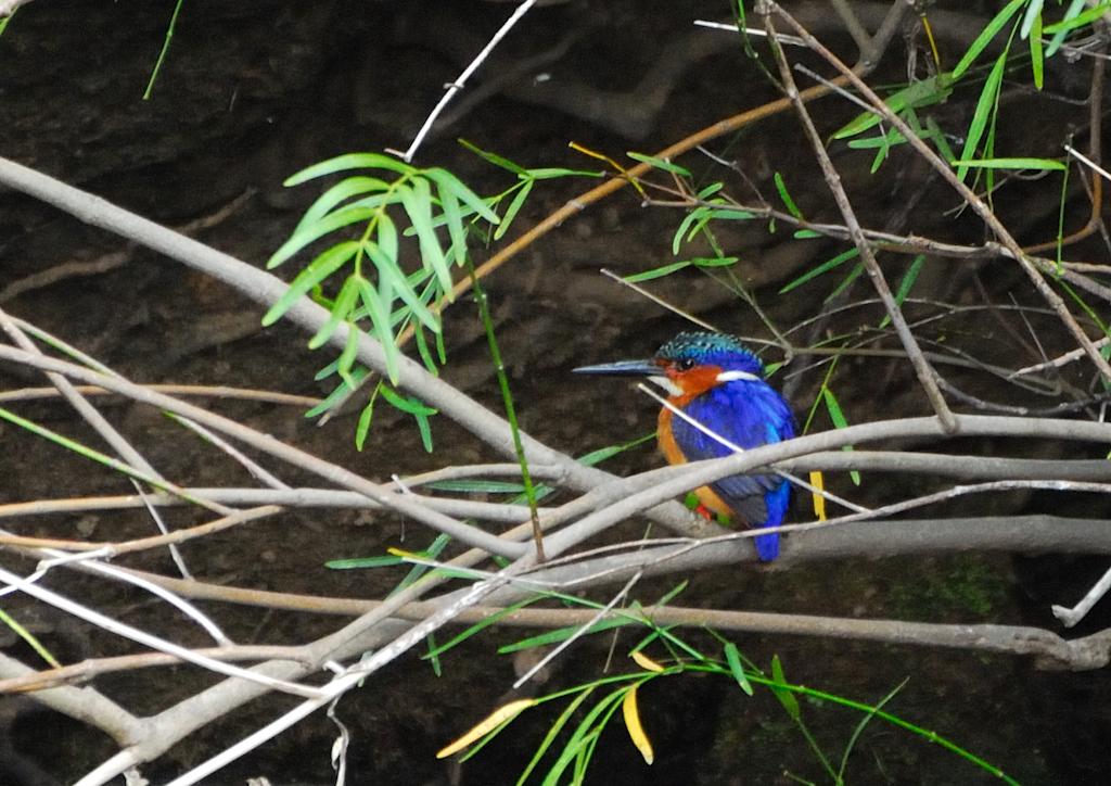 Madagascar - Vallée de Tsaranoro, martin pêcheur