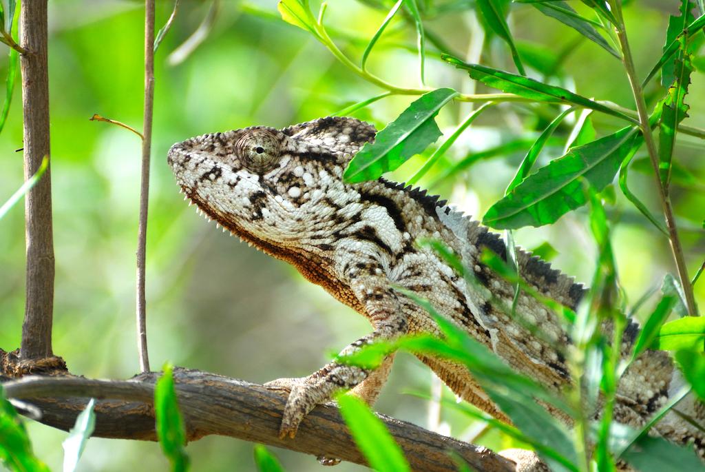 Madagascar - Vallée de Tsaranoro, caméléon