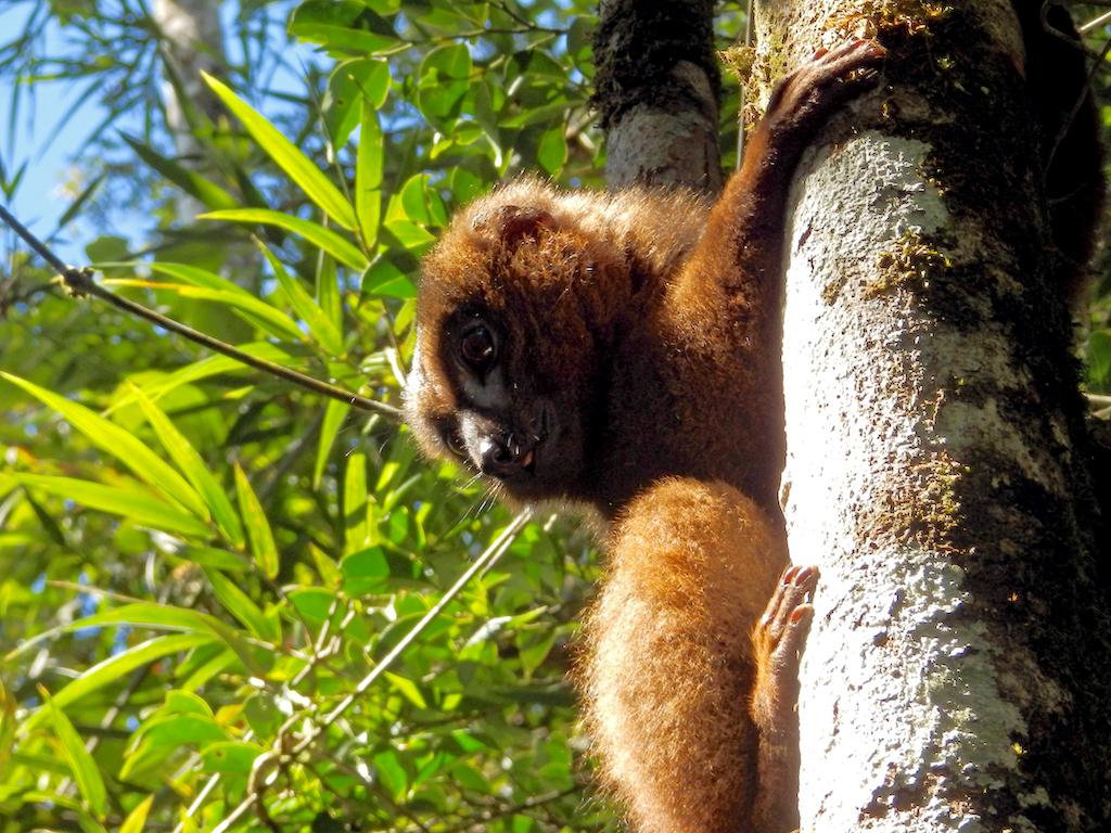 Madagascar - Parc national de Ronamafana, lémur à ventre roux
