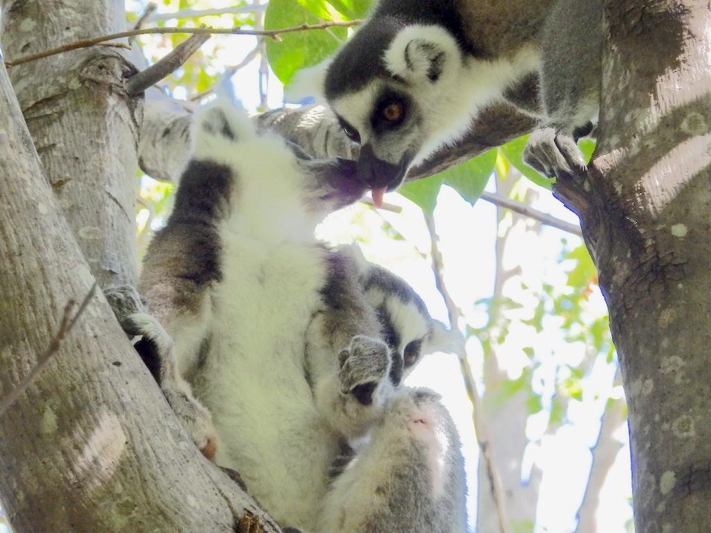 Madagascar - Réserve d'Anja, Lémur Catta