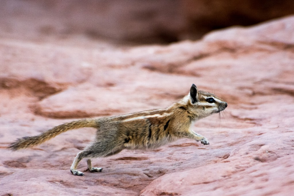 Arches national Park - Tamia ou Chipmunk