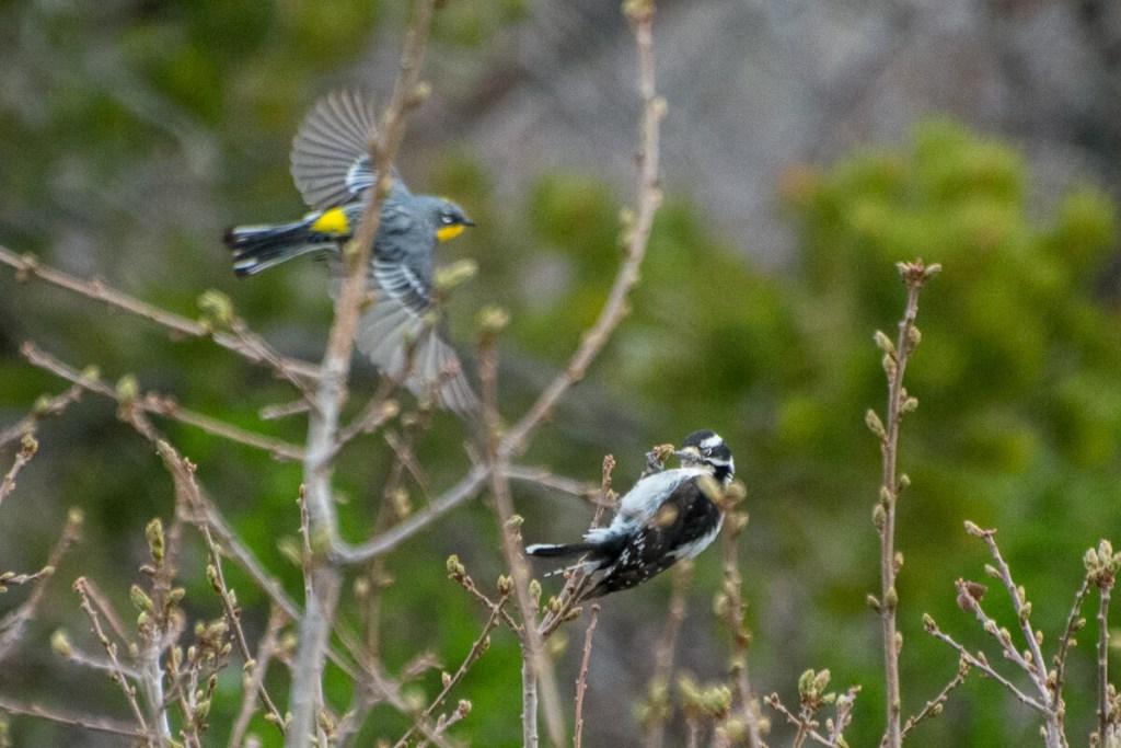 Paruline à croupion jaune et pic mineur à à Mesa Verde National Park