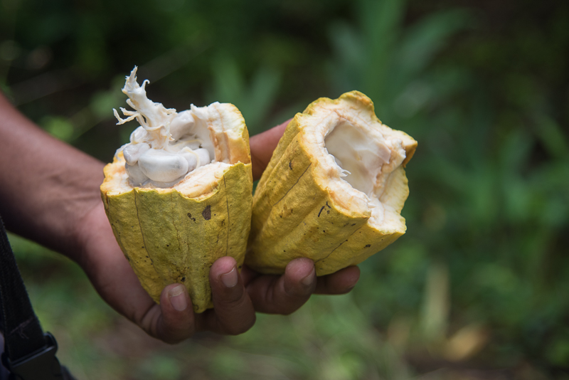 Cuba - Baracoa - Cabosse de Cacao