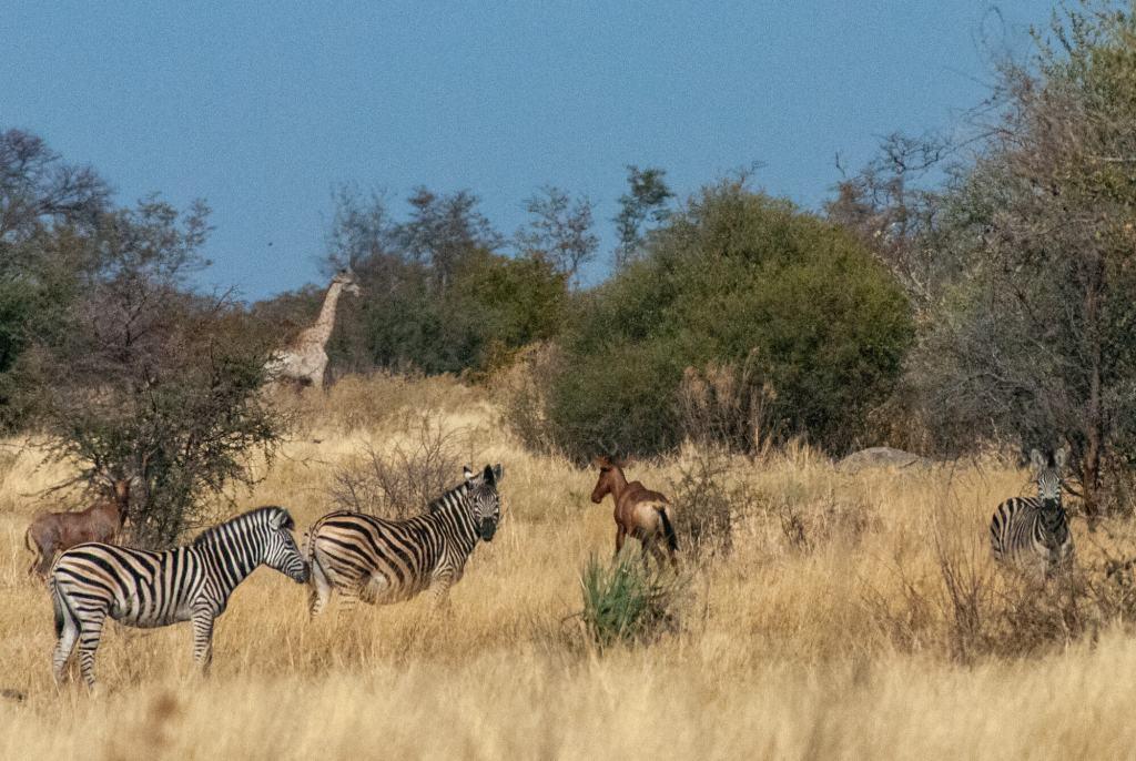 Afrique australe - Botswana, Okavango- Girafe, zèbre de Burchell et bubales