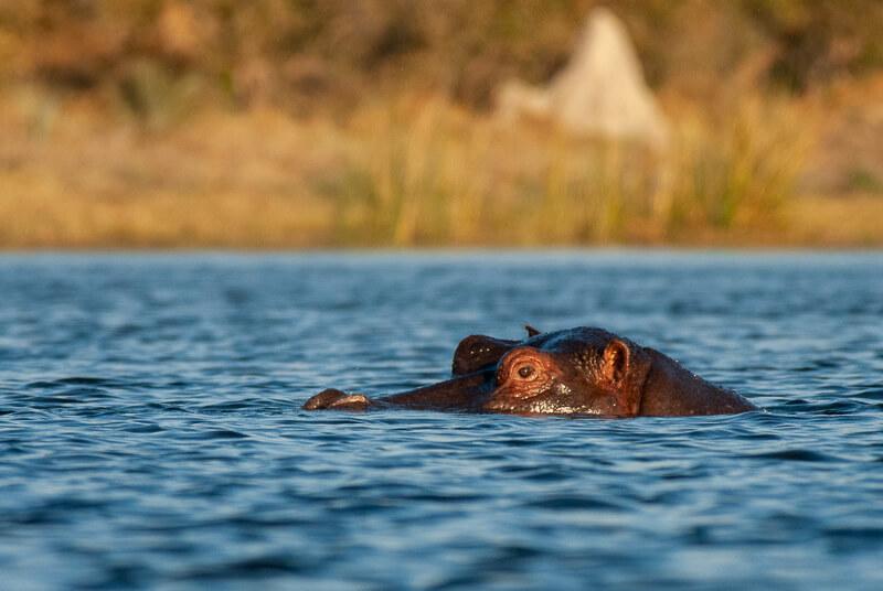 Afrique australe - Botswana, hippopotame dans le delta de l'Okavango