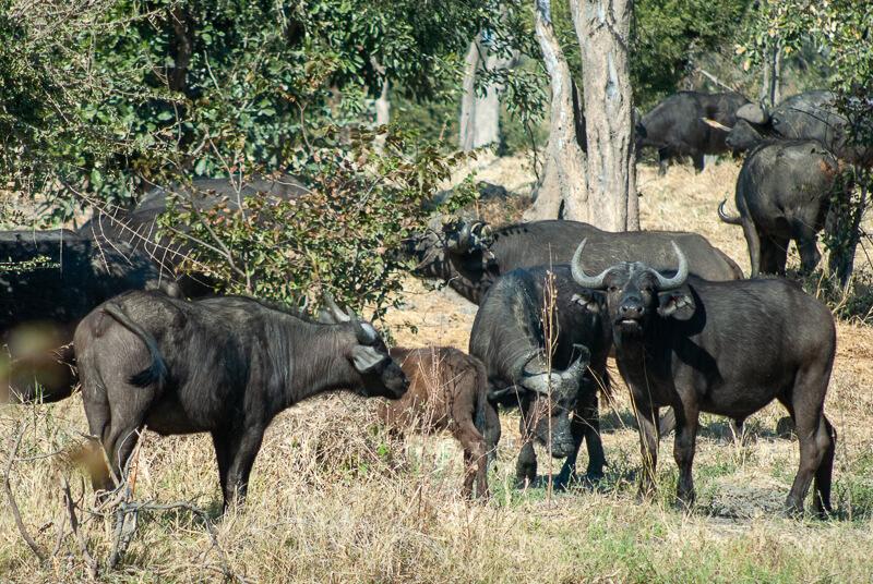 Afrique australe - Botswana. Francolin à bec rouge (Pternistis adspersus) - Buffles