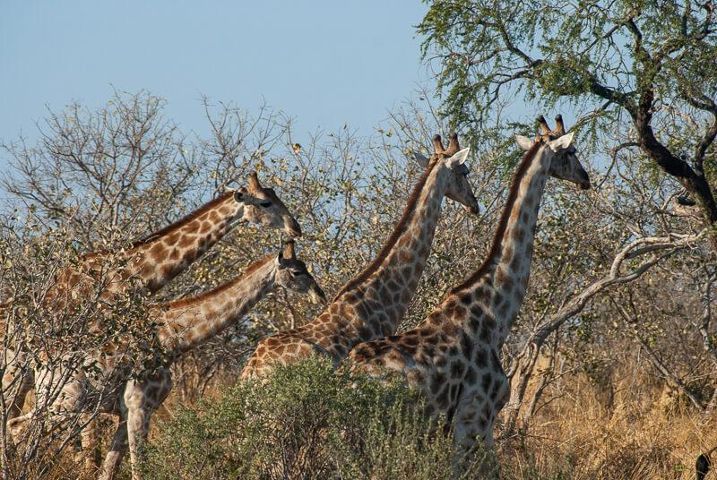 Afrique australe - Botswana. Groupe de girafes