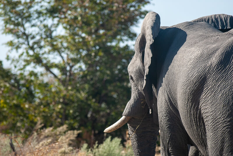 Afrique australe - Botswana. Eléphant solitaire