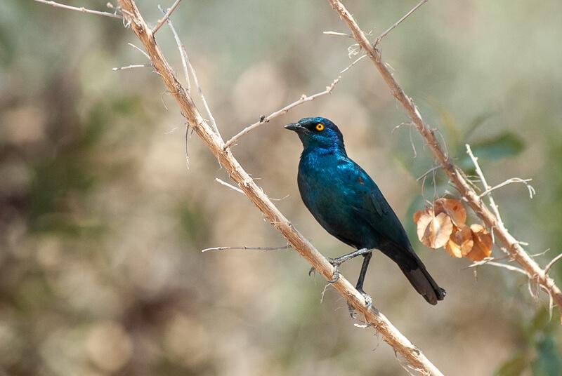 Choucador à oreillons bleus (Lamprotornis chalybaeus) - Greater Blue-eared Starling