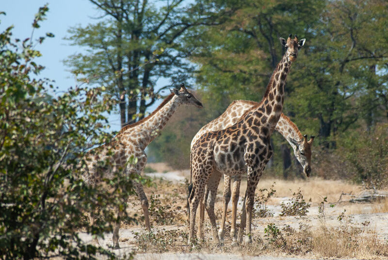 Afrique australe - Botswana. Groupe de girafes avec girafon