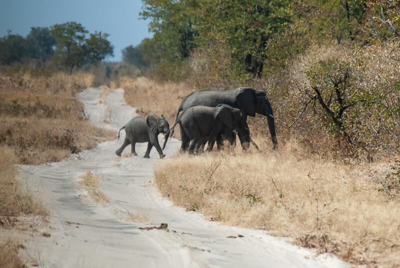 Afrique australe - Botswana. Nous croisons une famille d'éléphants