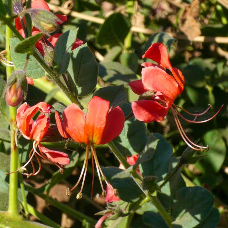 Afrique australe - Botswana. fleurs de lys rouge orangé
