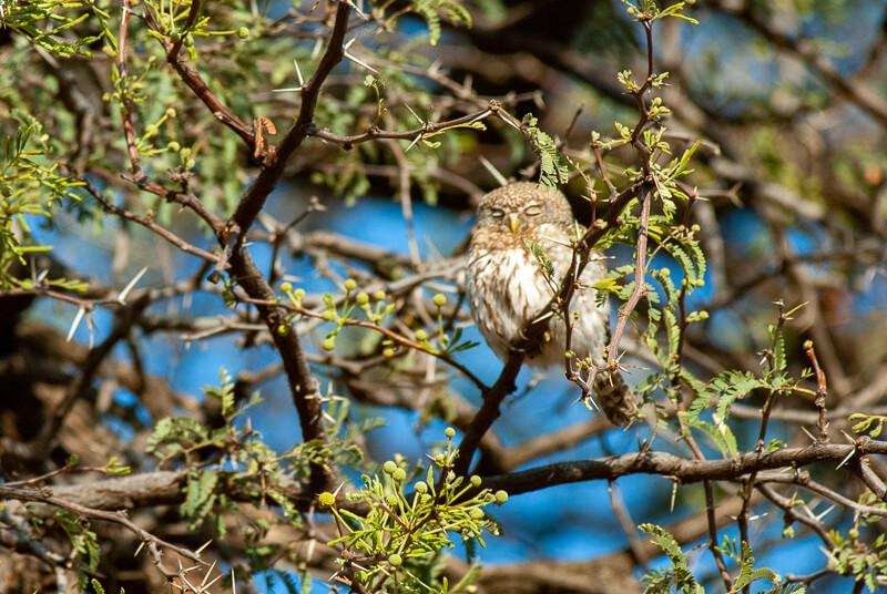 Afrique australe - Botswana, Chobe - Chevêchette perlée Glaucidium perlatum - Pearl-spotted Owlet