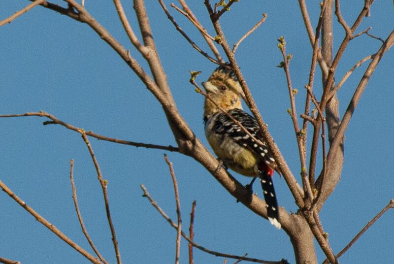 Afrique australe - Botswana, Chobe - Barbican promépic Trachyphonus vaillantii - Crested Barbet