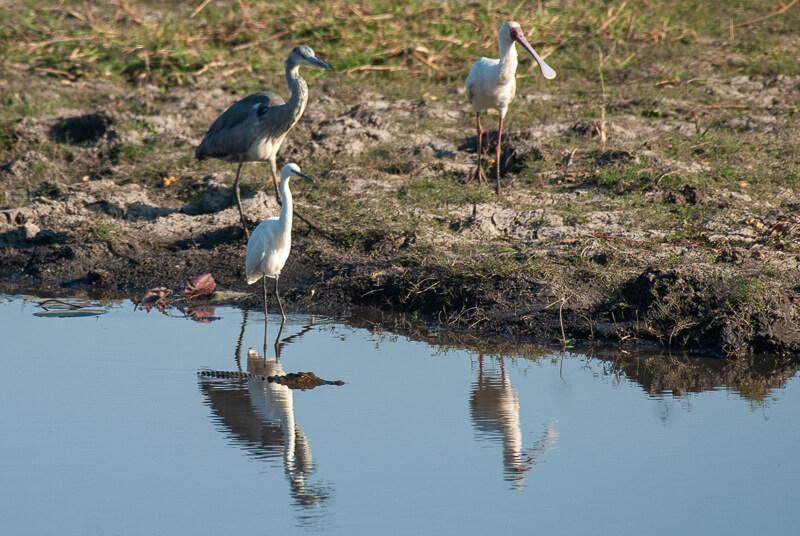 Afrique australe - Botswana, Chobe - Crocodile, héron, spatule et aigrette