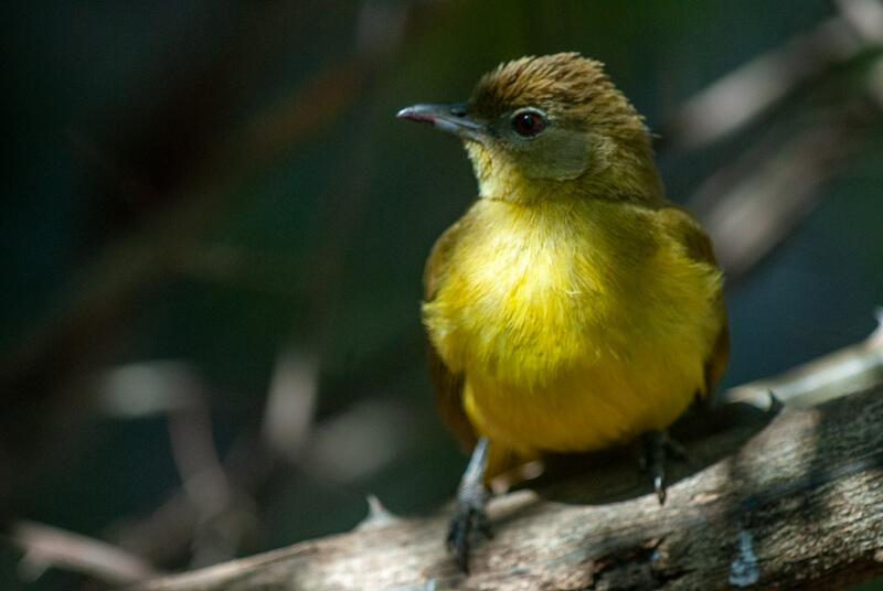 Afrique australe - Botswana, Chobe - Bulbul à poitrine jaune (Chlorocichla flaviventris) - Yellow-bellied Greenbul