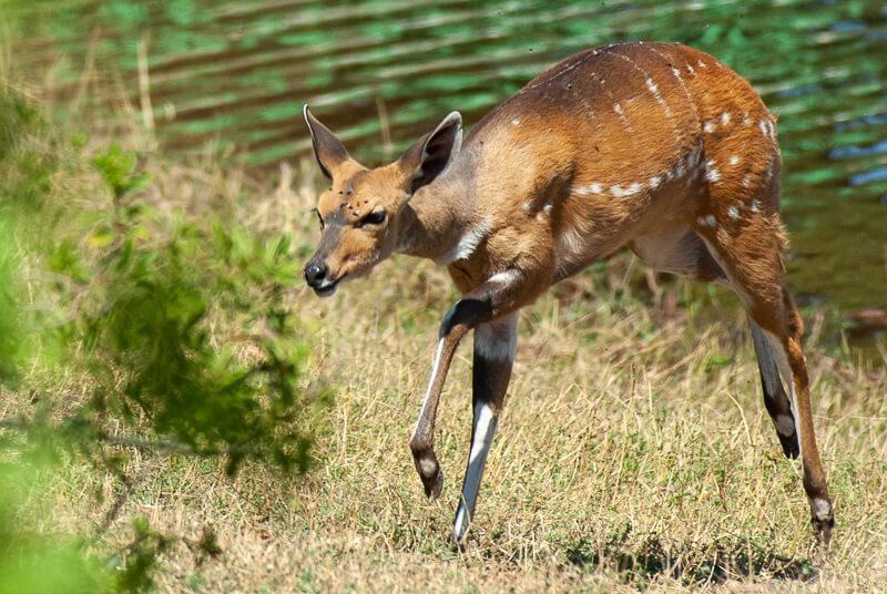 Afrique australe - Botswana, Chobe - Guib arnaché (Tragelaphus scriptus) - Bushbuck