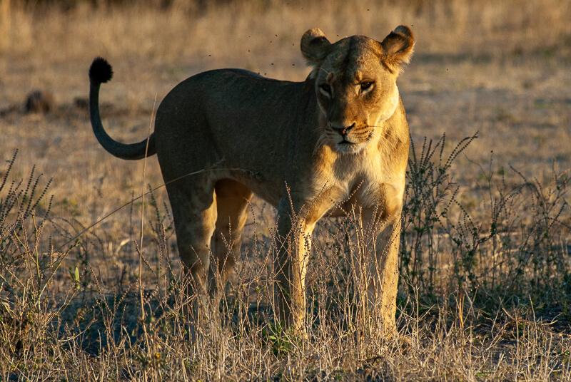 Afrique australe - Botswana, Chobe - lionne