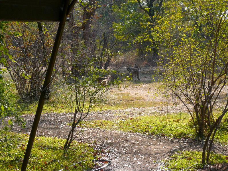 Afrique australe - Zambie, les babouins jouent devant notre tente