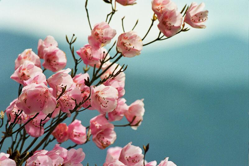 Japon - Lac Chuzenji et cerisiers en fleurs