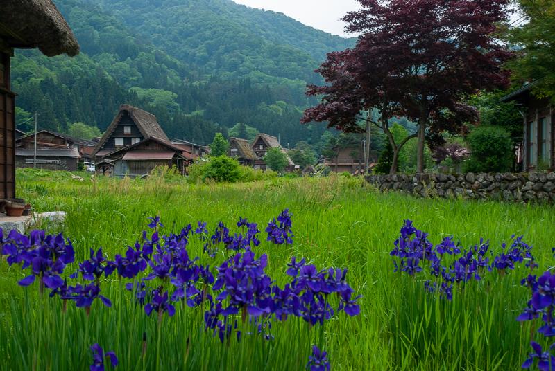 Japon, Shirakawago - iris et maisons traditionnelles