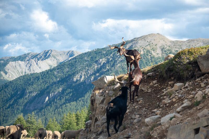 Mercantour, Saint-Dalmas-le Selvage - troupeaux dont chèvres à belles cornes