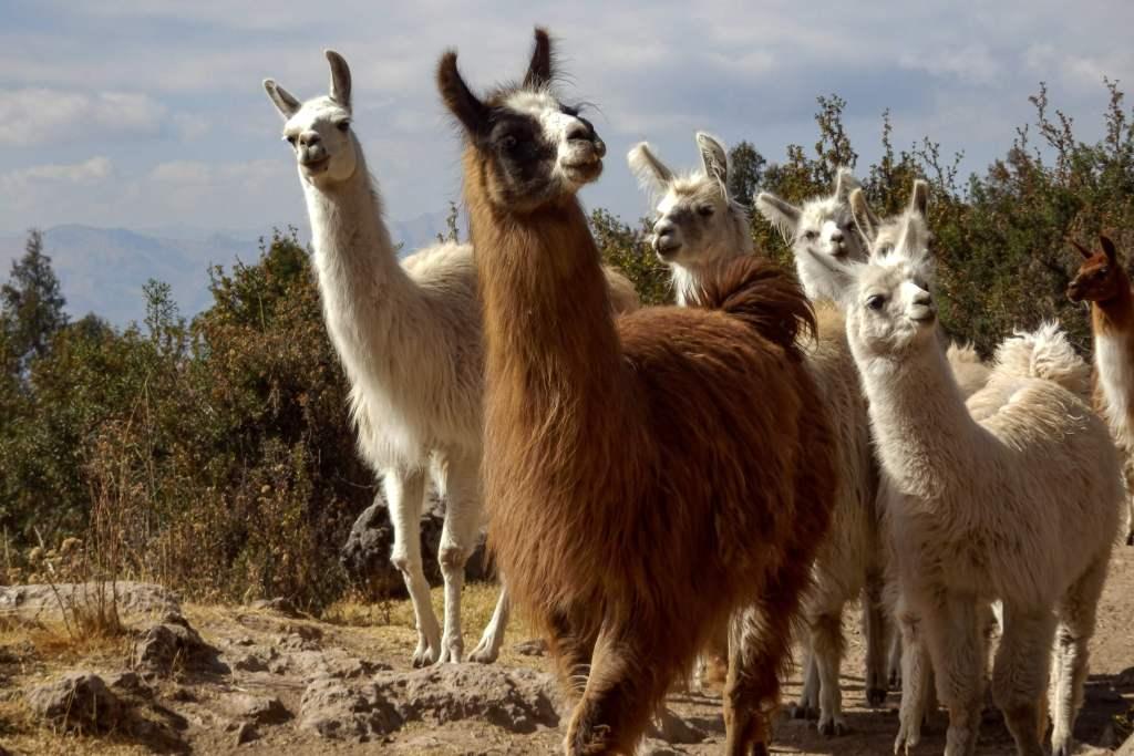 Pérou, Cuzco - Troupeau de lamas
