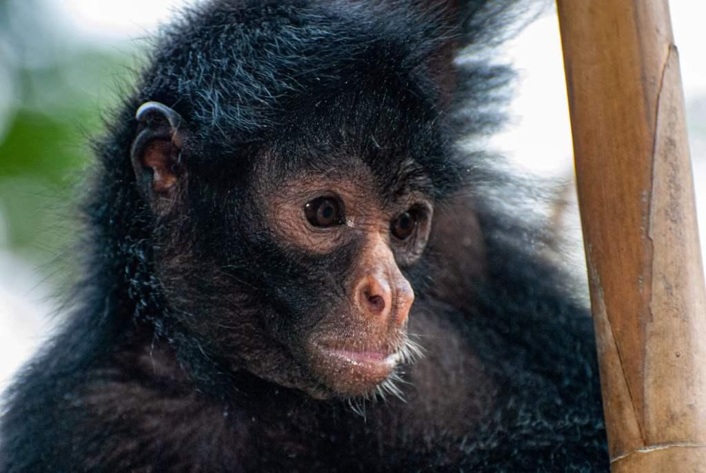 Pérou, Amazonie - Ile aux singes, Singe araignée à face noire (Ateles Chamek)