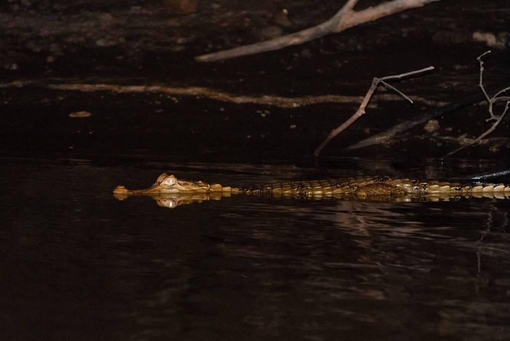 Pérou, Amazonie - Crocodile le long des berges du Rio Madre