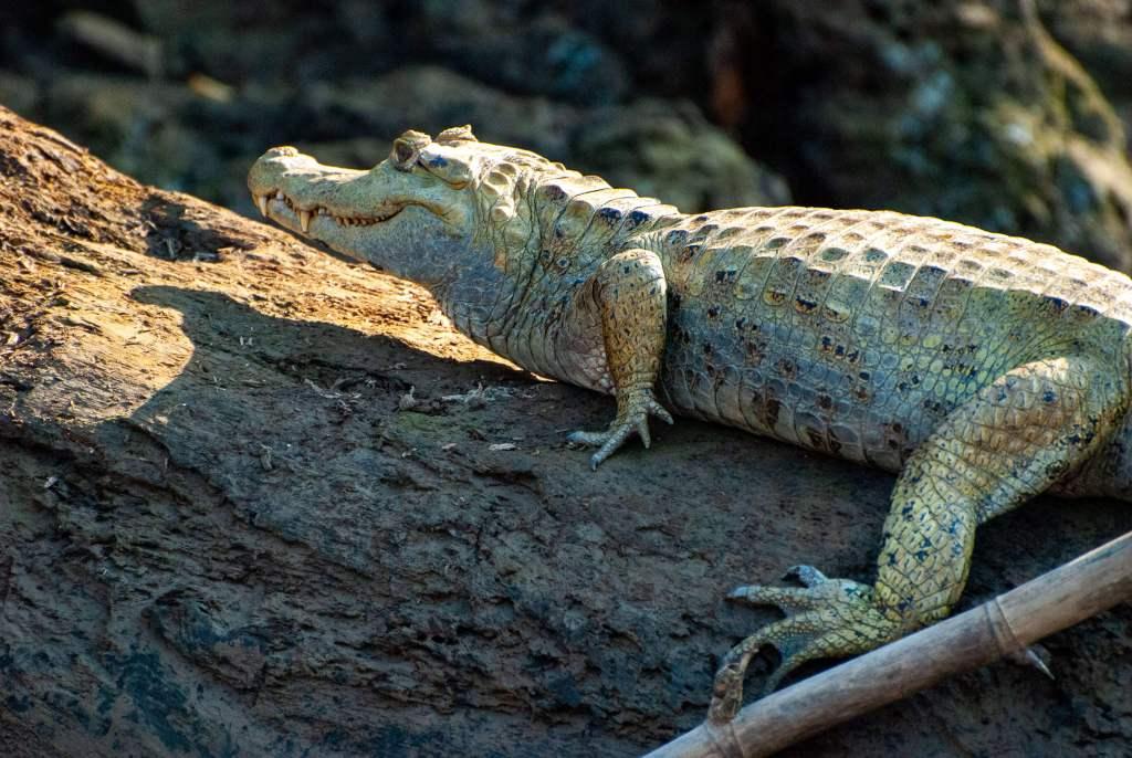 Pérou, Amazonie - Crocodile sur un arbre le long du Rio Madre