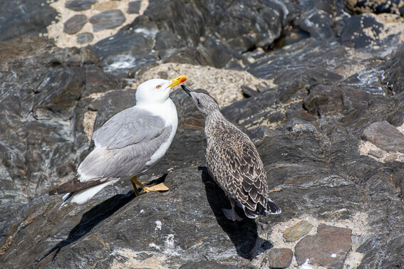 France - Baie de Collioure, nourrissage de jeune goéland