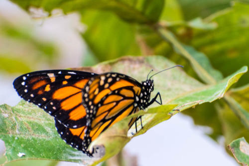 Guatelama : Panajachel, papillon monarque
