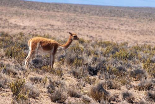 Pérou, mammifères sauvages