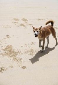Stay Dingo alert