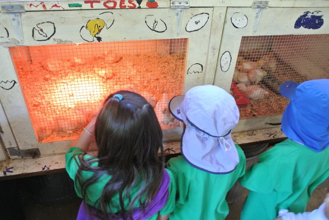 Checking out the adorable baby chicks
