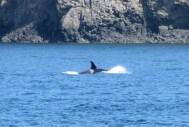 Orca at Victoria, Canada