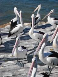 Pelican Feeding, Kangaroo Island