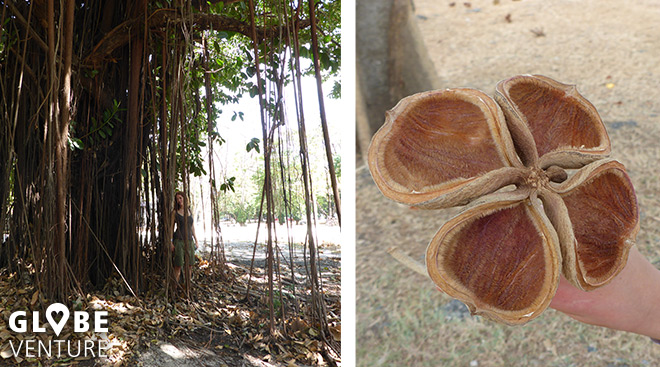 Globevenure - Panama - Lianen Baum