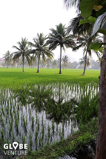Reisfelder und Kokospalmen umgeben Hampi