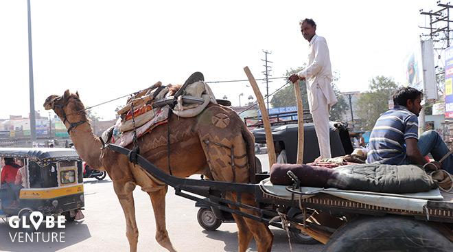 Bikaner Kamel