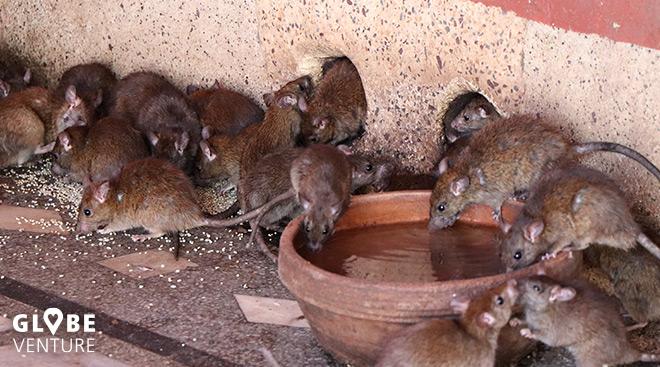Ratten Karni Mata Tempel