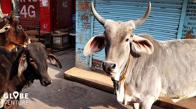 heilige Kühe Indien