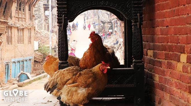 Bakthapur Nepal Hühner
