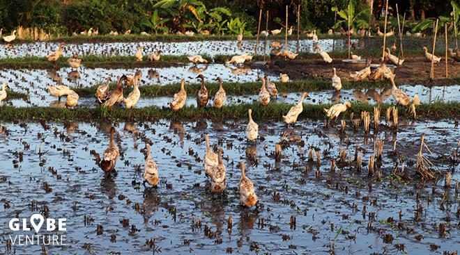 Reisfelder mit Enten in der Nähe von Ubud