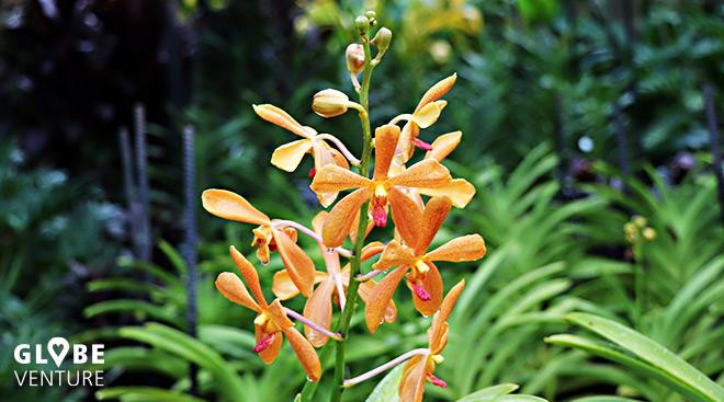 National Orchid Garden Singapur Orchideen