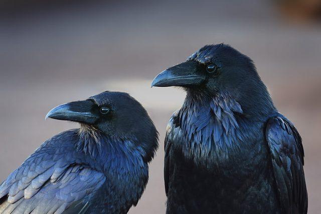 O que significa quando você vê um corvo?