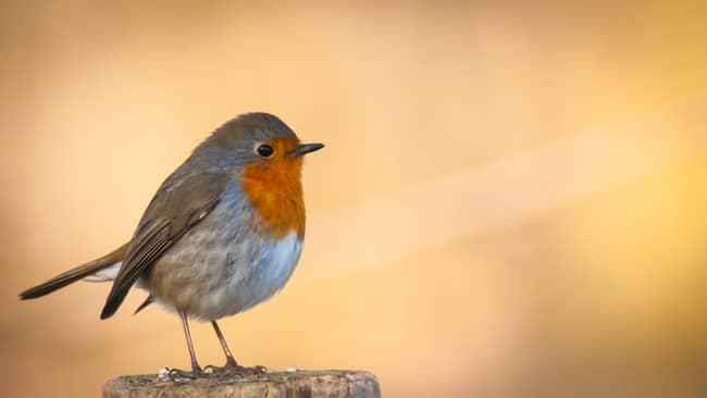 O que significa quando você vê um red Robin? O Significado Espiritual
